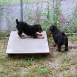 Airedale Puppies For Sale