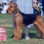 Carly AKC Champion Airedale Terrier Dog