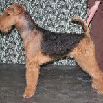 Airedale Show Dog Puppies For Sale
