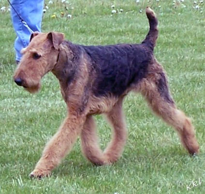 Airedale Terrier Dogs For Sale