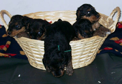 AKC Airedale Puppies For Sale